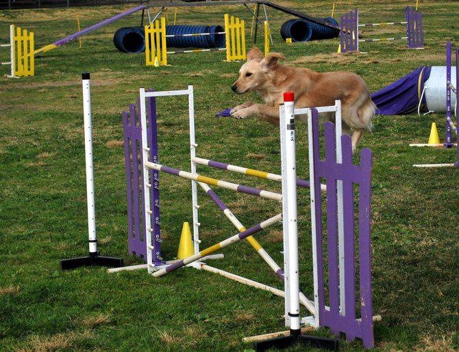 A focused dog running the agility course set up by the Agility Club Of San Diego.  They were running some trials at the Rohr Park in Bonita near the golf course.