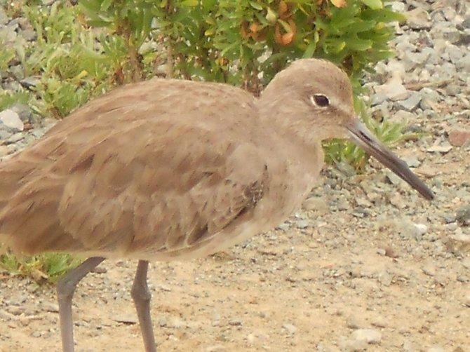 Friendly bird near San Diego River channel.