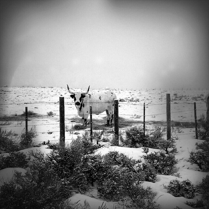 """Bull at Fence"" near Coalmont, CO 1-3-2012 - I took this with my Sprint EVO using the ""Fudgecan"" filter."