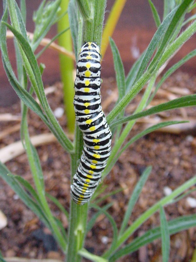 On Dodson St. this caterpillar was clinging to a tall weed by the sidewalk.