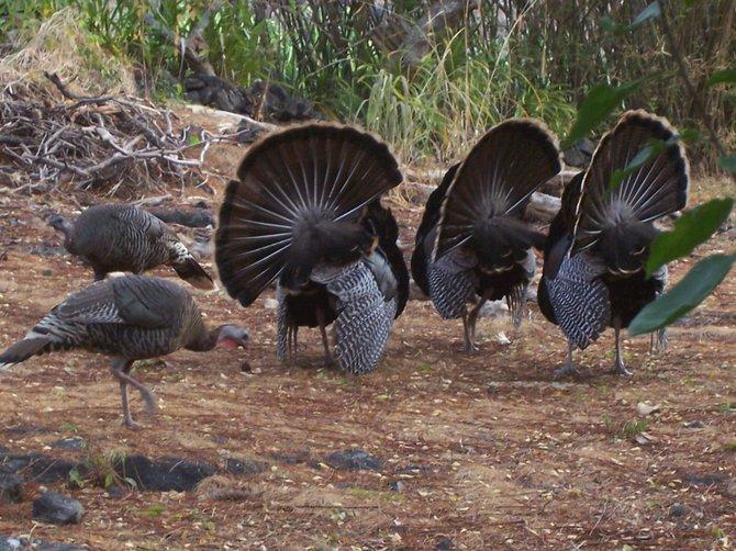 Turkeys- Kona, Hawaii  Photo by Elisa Stene
