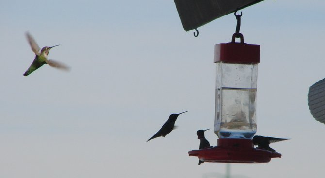 hummingbirds gassing up