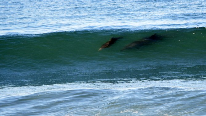 Imperial Beach surfing dolphins!