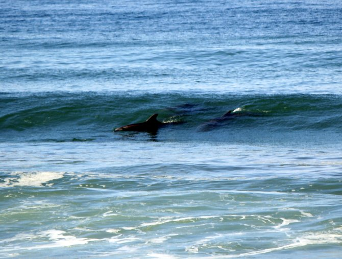 Imperial Beach surfing dolphins