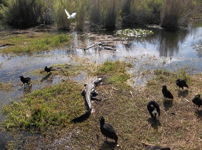 Gators and vultures along the Anhinga Trail in the Everglades