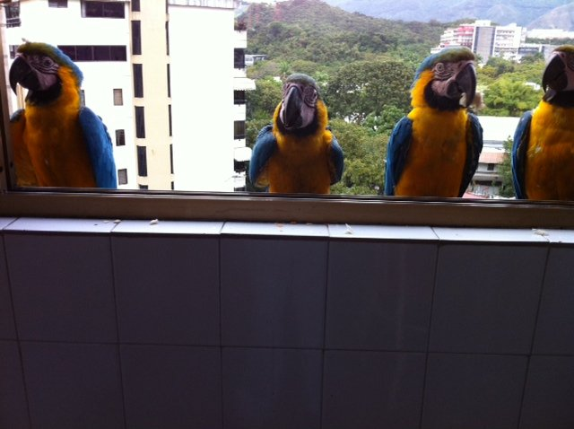 Macaw parrots standing outside the window of an upstairs apt in downtown Caracas, Venezuela.