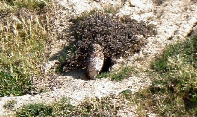 Burrowing owl at Torrey Pines State Natural Reserve