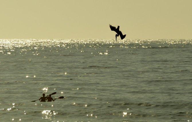 Pelican diving at La Jolla Shores