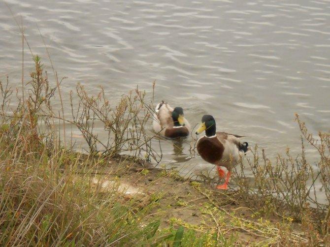 Friendly ducks across from Shelter Island.
