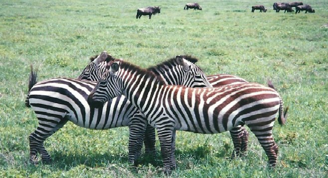 Zebras don't appear to be skittish in Tanzania's Ngorongoro Crater
