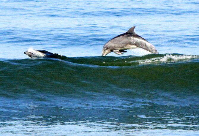 Imperial Beach dolphins having fun
