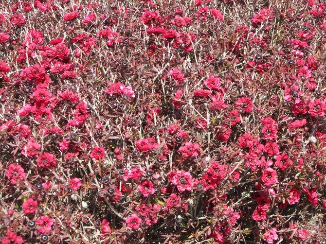 Tea tree Bush in Oceanside