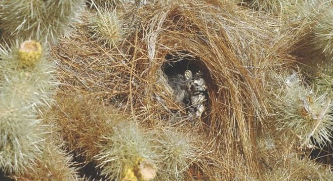 Boulder Canyon cactus wren nest