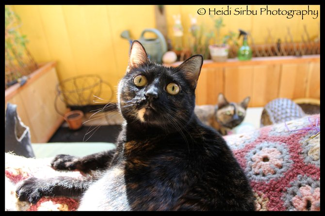 At our home in San Diego: This is our timid cat, Donna, with our bold cat, Bella, in the background. What adorable faces they make! Such personality! Both are shelter rescue tortoiseshell cats from the San Diego City Shelter.