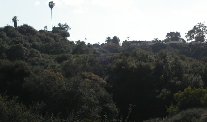 A densely wooded Clairemont canyon