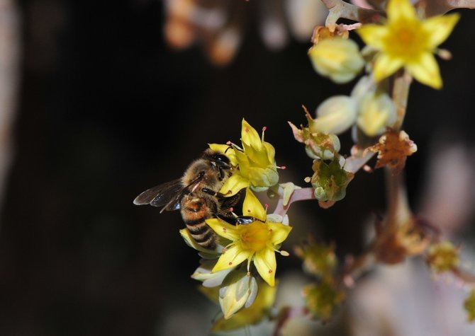 Busy as a bee,  photo taken in Santee  photo by Randy Siegel