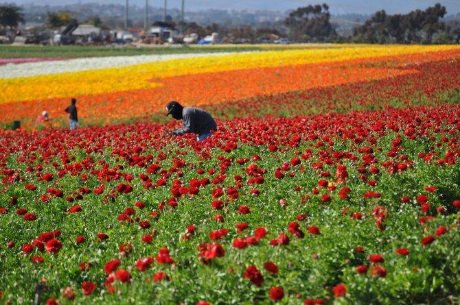 The Flower Fields in Carlsbad