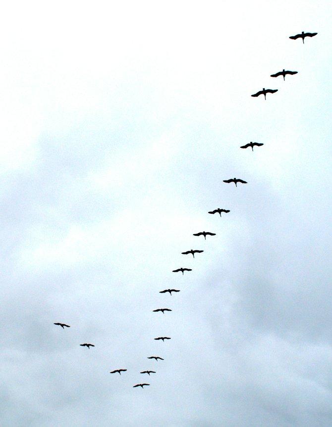 Pelicans in Torrey Pines State Park
