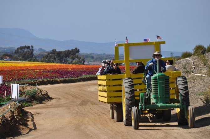 Carlsbad-   The Flower Fields