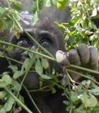 Adorable baby gorilla! The San Diego Wild Animal Park (I refuse to call it Safari Park) April 2012