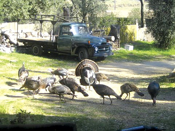 Wild turkeys are comfortable 
