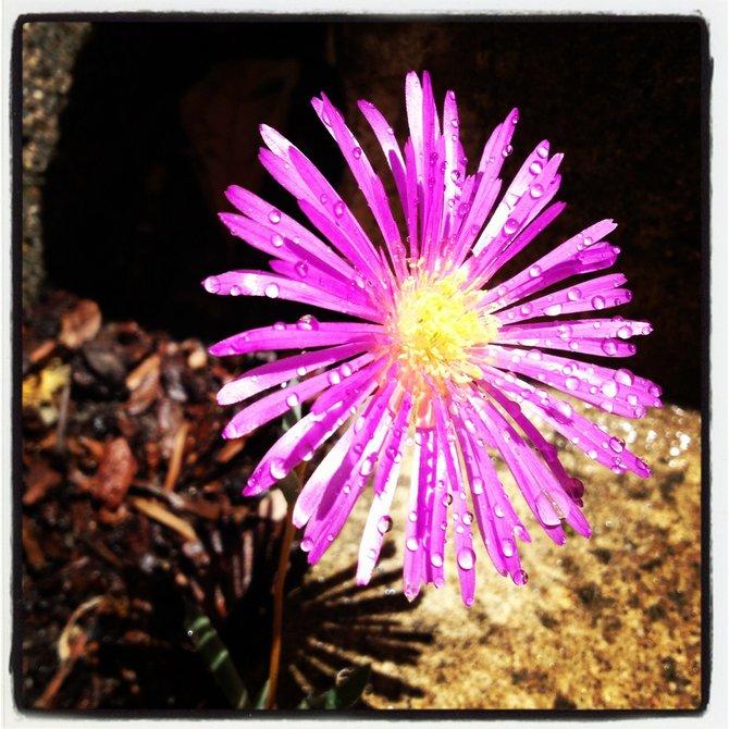 Spring Bloom La Costa, California