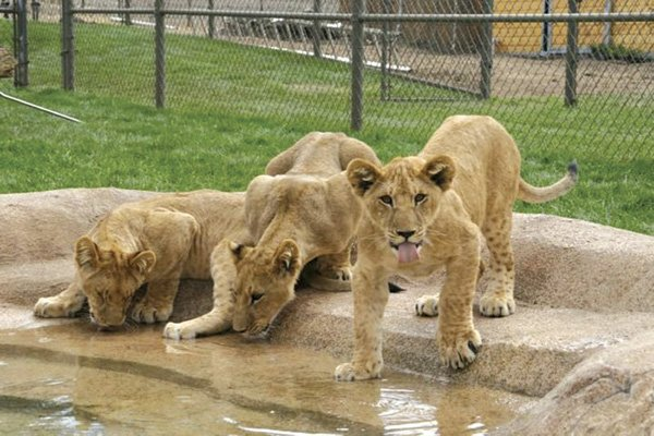 Lions, Tigers, and Bears sanctuary in Alpine