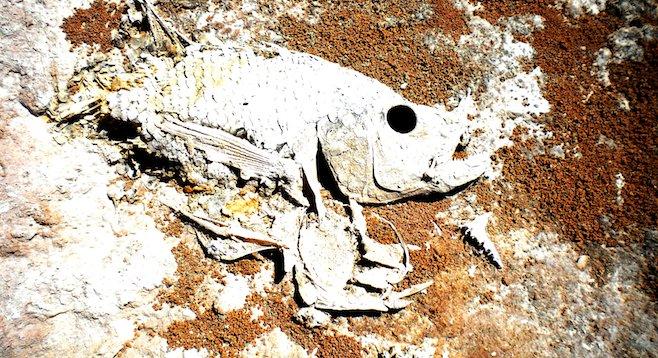 Fish skeletons line Bombay Beach, on the eastern shore of California's Salton Sea.