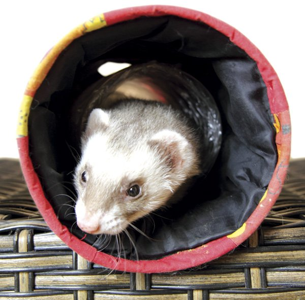 Aside from Hawaii, California is the only state in the U.S. in which domestic ferrets are illegal to keep as pets.