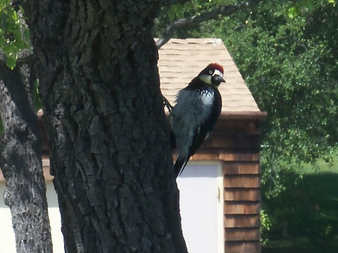A woodpecker at the Welk Resort in Escondido
