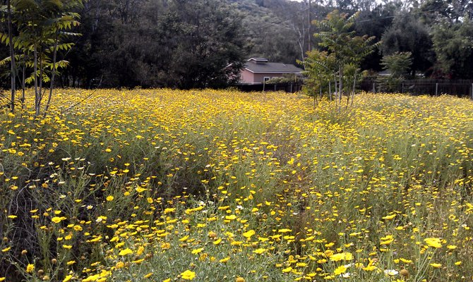Wild flowers / barona / lakeside