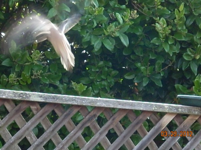 A Dove captured in mid-flight.