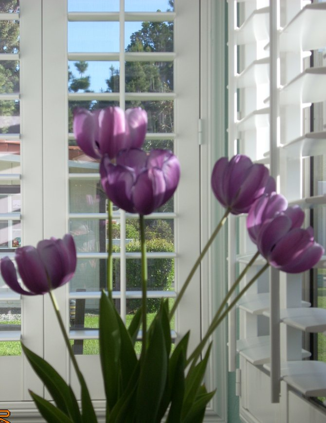 Tulips in the Sunroom.