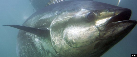 This is the first time a huge migrating fish has been shown to carry radioactivity such a distance. (AP Photo/Chris Park, File)