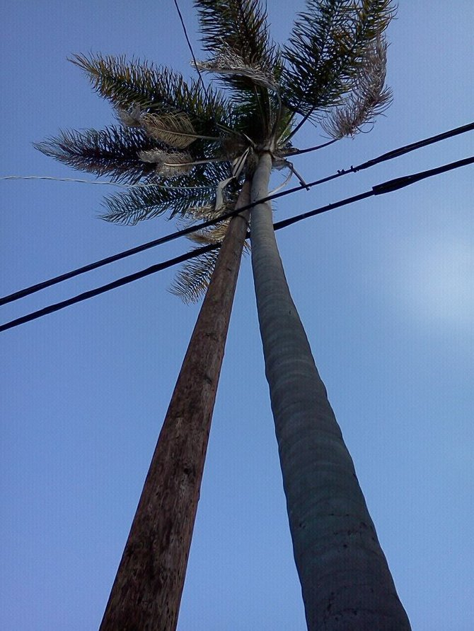 Palm tree growing leaning into the utility pole