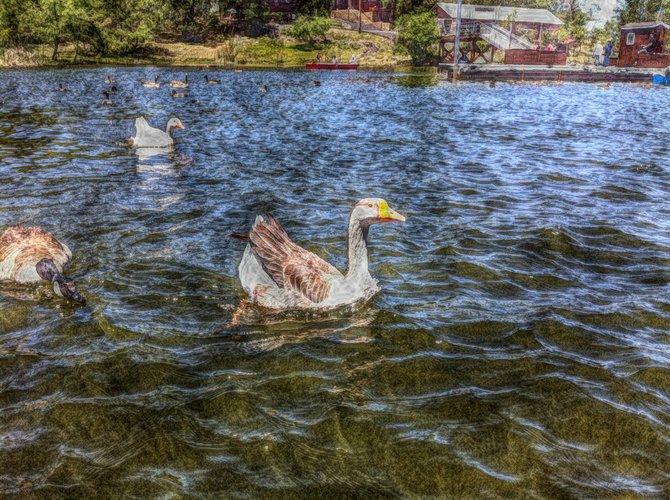 Geese on Lake Cuyamaca