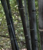 Bamboo at the manyotherworldly Sarah Duke Gardens, Durham NC