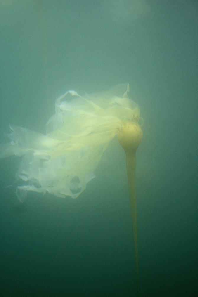 Underwater fern grove - or Ophelia Ghost - off Sitka