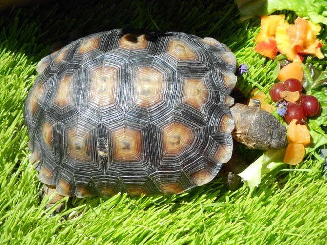 Hungry turtle enjoys vegetarian meal in Ocean Beach.
