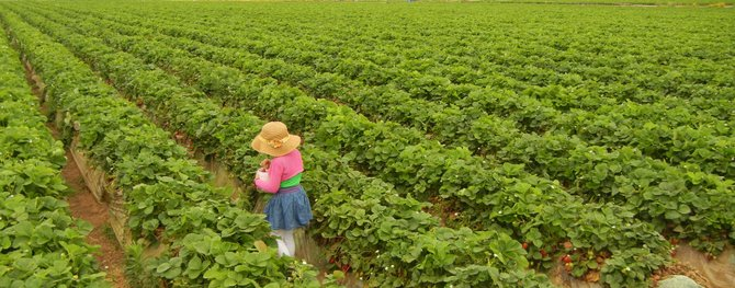 Strawberry Fields Forever- 5 year old Melanie at Carlsbad Strawberry Fields