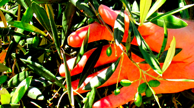 Fallbrook olive branch, brown-spotted leaves indicating natural pesticides