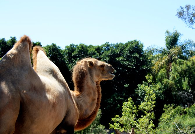 Wobbly hump at the San Diego Zoo.