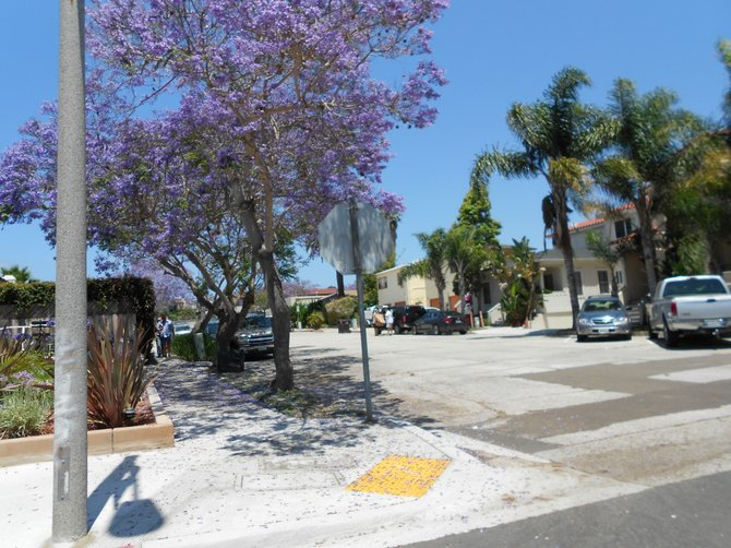 Blooming jacaranda trees near Rosecrans St. in Point Loma.