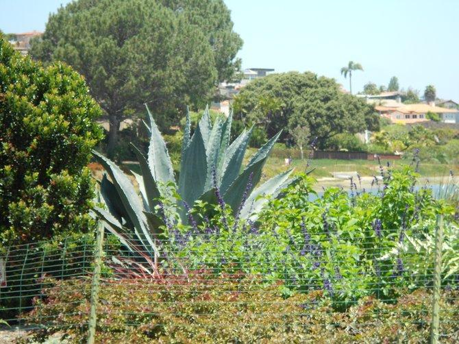 Enormous cactus plant along La Playa trail along SD Bay.