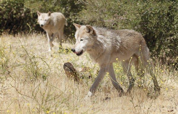 A pair of Alaskan wolves roam through their enclosure.