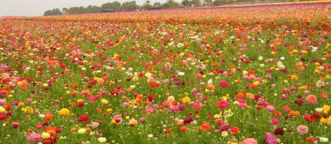 Misty Morning at Carlsbad Flower Fields
