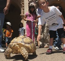 African spurred tortoise.  Photo Bob Weatherston.