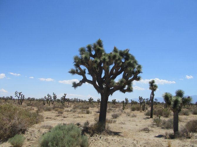 A Joshua tree in high altitude desert, CA
