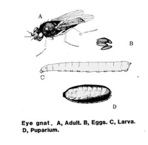 Life cycle of an eye gnat