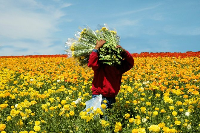 Local travel: Leucadia Flower Fields (www.GDalams.com).
